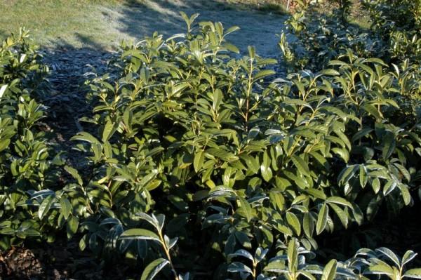 Kirschlorbeer 'Schipkaensis Macrophylla' / Großblättrige Lorbeerkirsche-1