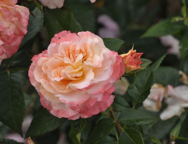 Edelrose 'Augusta Luise' ®-1