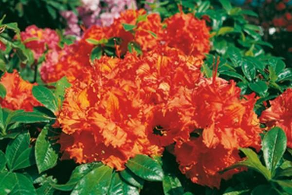 Sommergrüne Azalee 'Gibraltar'-1