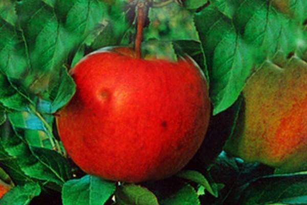 Apfel 'Gala' mittel-1