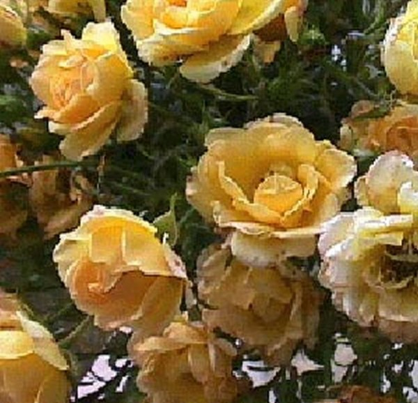 Bodendeckende Rose 'Yellow Fairy' ®-1