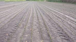 Liguster Gunstig Robust Und Vielseitig Terra Pflanzenhandel
