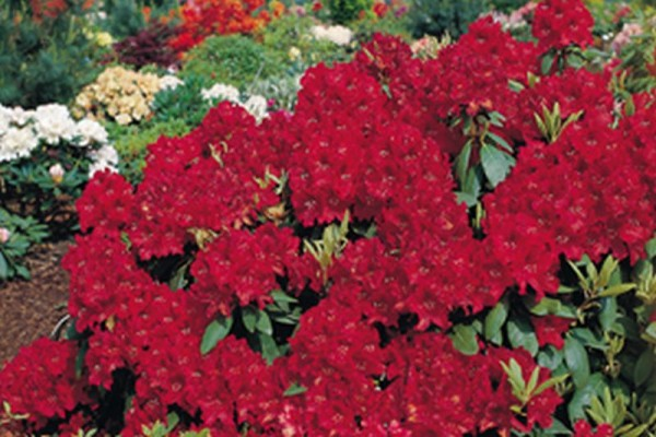 Rhododendron-Hybride 'Erato' ®-1