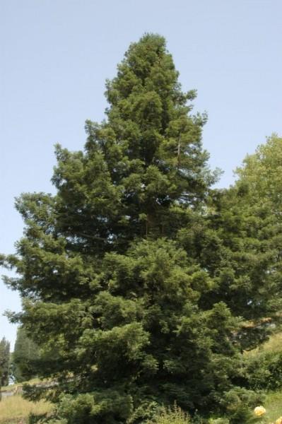 Küsten-Sequoie-1