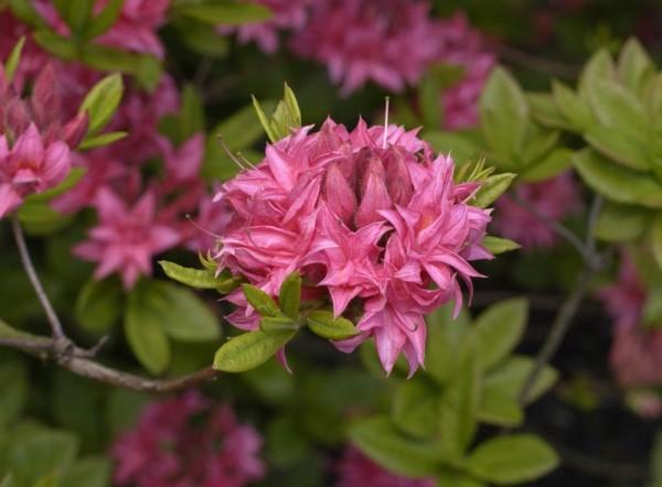 Sommergrüne Azalee 'Homebush'-1