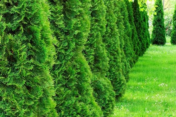 Thuja 'Smaragd' / Lebensbaum 'Smaragd'-1