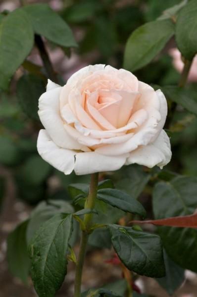 Edelrose 'Schloss Ippenburg' ADR-Rose-1