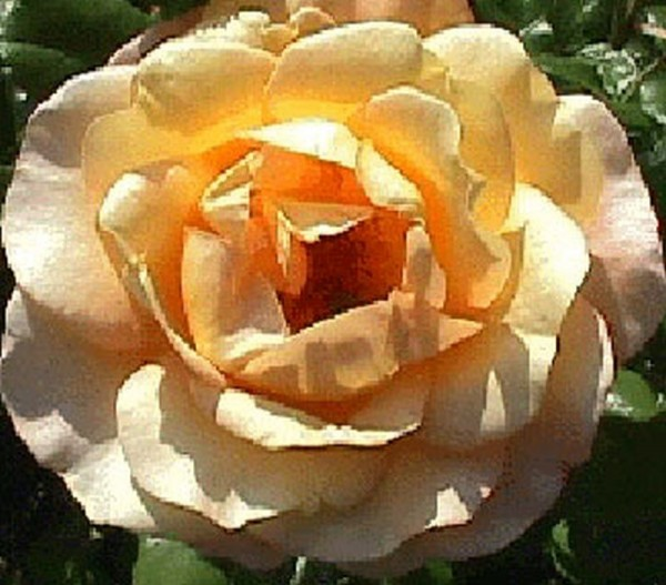 Beetrose 'Bernstein Rose' ®-1
