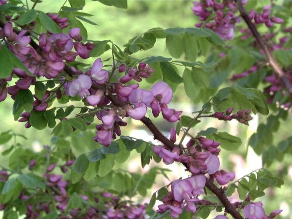 Borstenakazie 'Macrophylla'-1