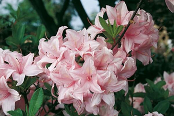 Sommergrüne Azalee 'Soir de Paris'-1