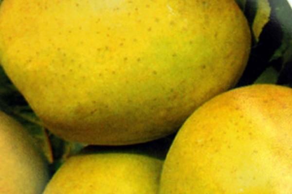 Apfel 'Golden Delicious' mittel-1