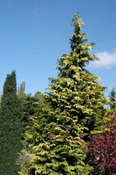 Gelbe Gartenzypresse 'Golden Wonder'-1