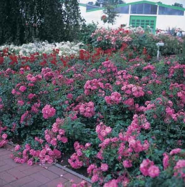 Bodendeckende Rose 'Palmengarten Frankfurt' ® ADR-Rose-1