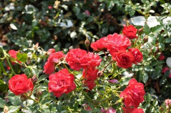 Bodendeckende Rose 'Limesglut' ® ADR-Rose-1