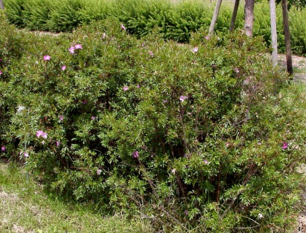 Glanzblättrige Rose-1