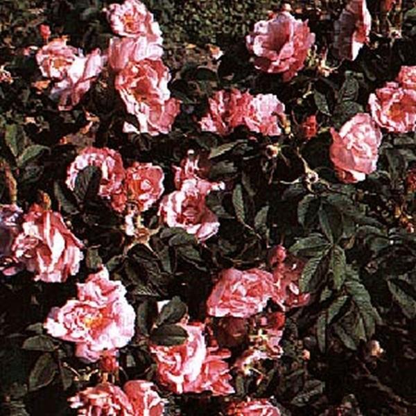 Bodendeckende Rose 'Baum's rugosa Rokoko'-1