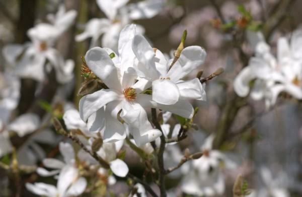 Magnolie 'Merrill'-1