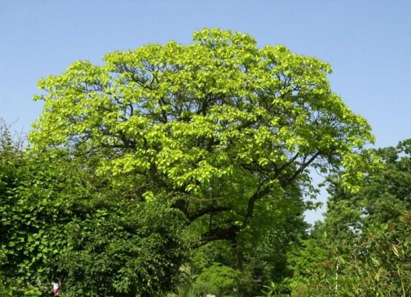 Reichfruchtender Trompetenbaum 'Aurea'-1
