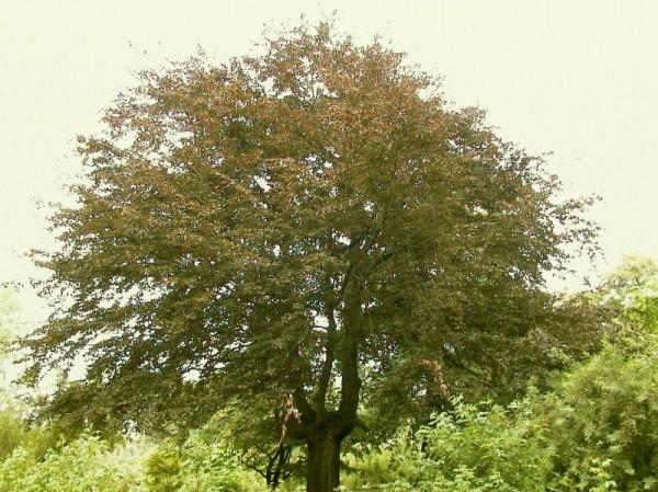 Blutbuche Baum / Hausbaum-1