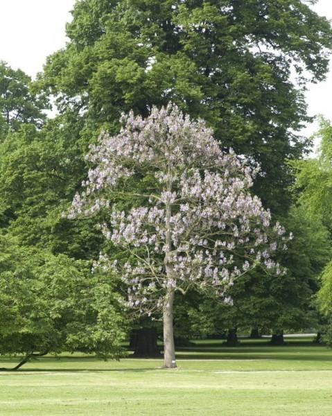 Blauglockenbaum-1