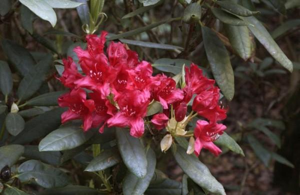 Großblumige Rhododendron 'Blinklicht' ®-1