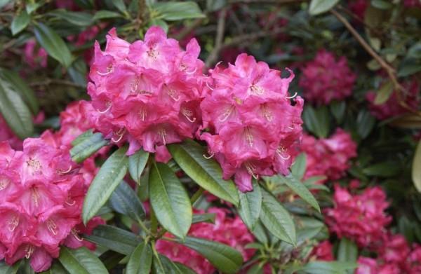 Rhododendron-Hybride 'Berliner Liebe'-1