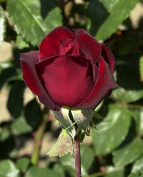 Edelrose 'Schwarze Madonna' ®-1