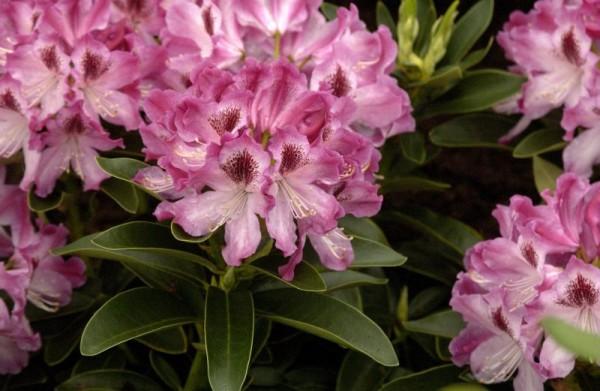 Rhododendron-Hybride 'Helen Martin'-1