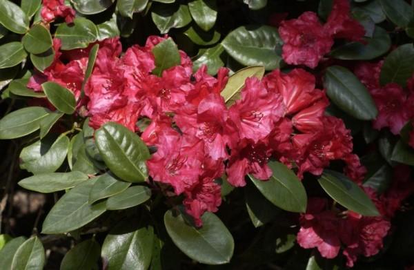 Williams.-Rhododendron 'Tromba'-1