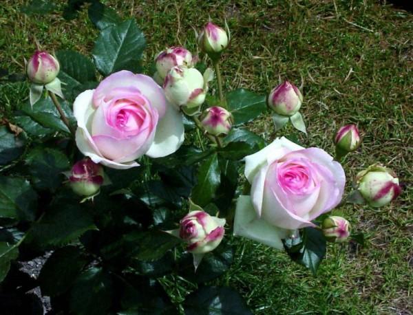 Kletterrose 'Mini Eden Rose' ®-1