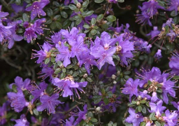 Kleinblättr.Rhododendron-1