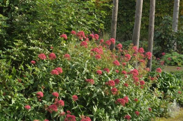 Rotblühende Garten-Spornblume-1