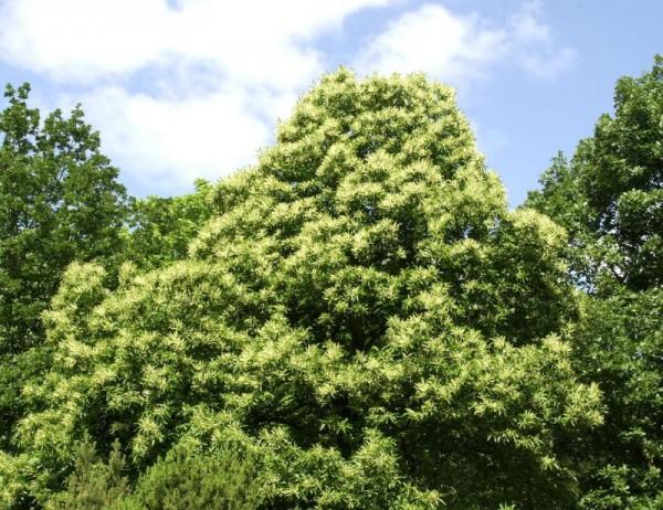 Esskastanie Baum/Hausbaum-1