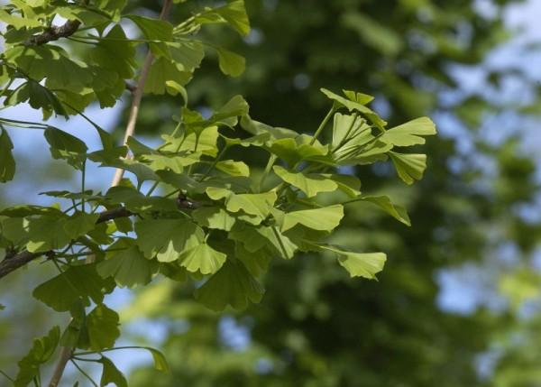 Ginkgobaum / Fächerblattbaum-3