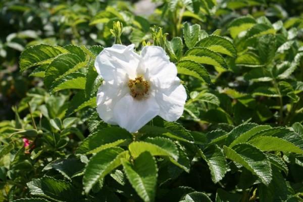 Weiße Apfelrose-1