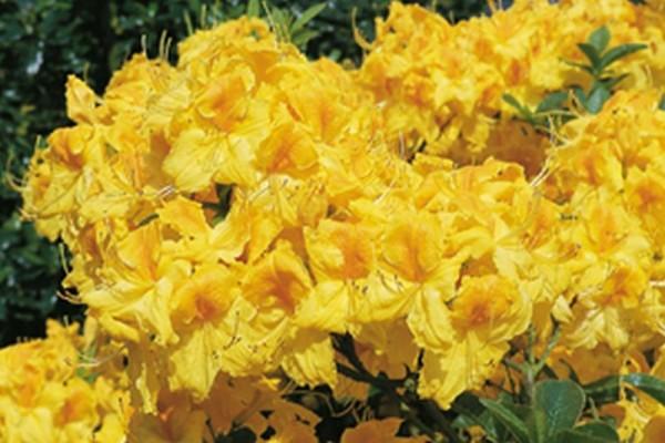 Sommergrüne Azalee 'Goldpracht'-1