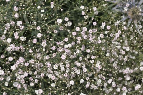 Garten-Schleierkraut-1