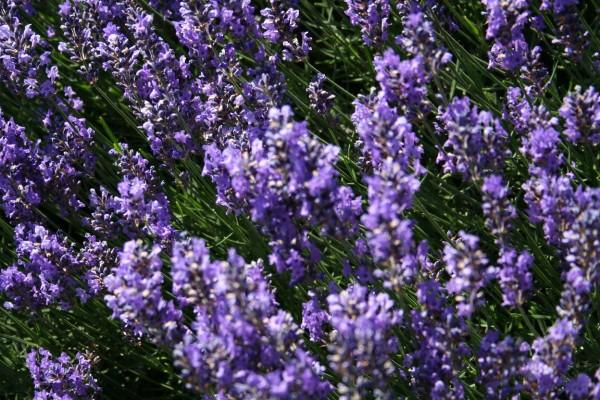 Garten-Lavendel Hidcote Blue-1
