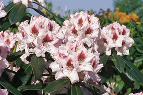 Rhododendron-Hybride 'Graffito' ®-1