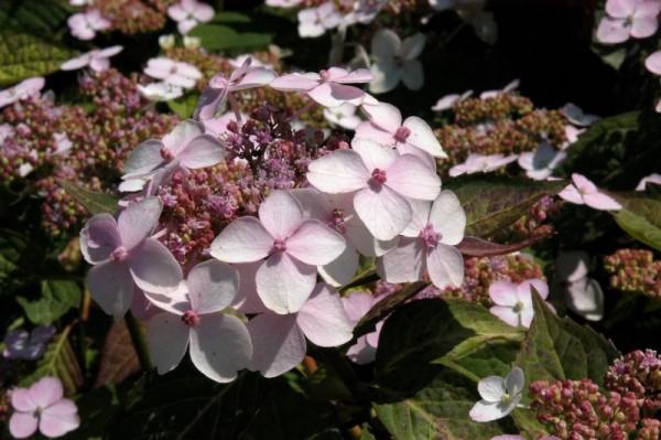 Kleinwüchs.Gartenhortensie 'Rosalba'-1