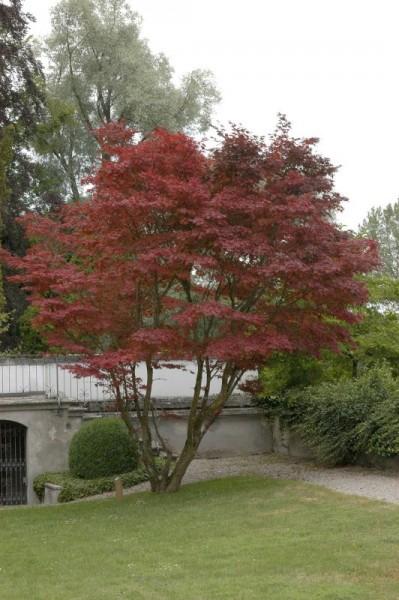 Roter Fächerahorn-1