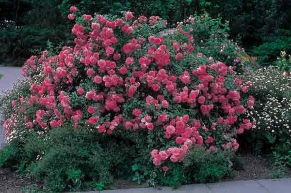 Kletterrose 'Rosarium Uetersen' ®-1
