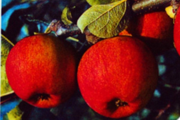 Apfel 'Piros' -S- früh-1