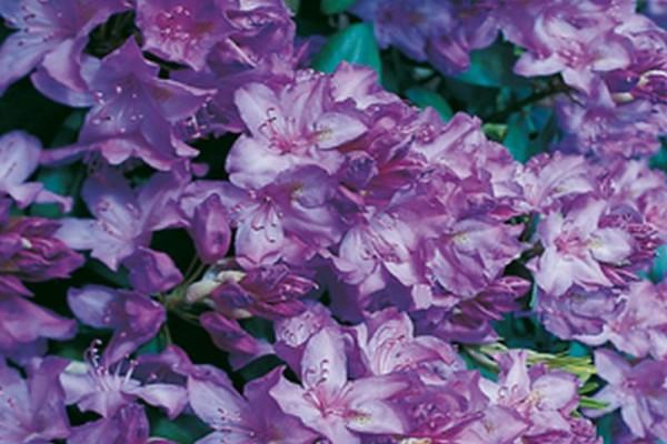 Rhododendron-Hybride 'Catawbiense Boursault'-1