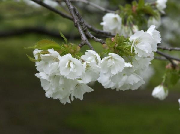 Fudschijama-Kirsche 'Shirotae'-1