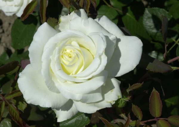 Edelrose 'Memoire' ®-1