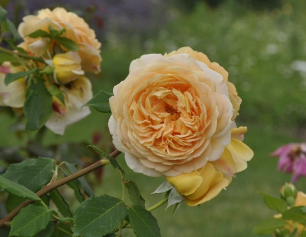 Strauchrose 'Golden Celebration' ®-1