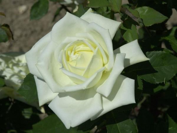 Edelrose 'Polarstern' ®-1