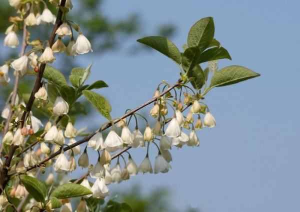 Schneeglöckchenbaum-1