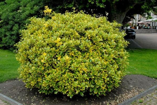Gelbbunte Stechpalme 'Golden van Tol'-1